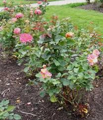 mardi gras roses midwest gardening index
