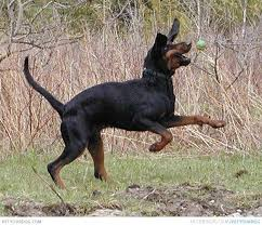 bluetick coonhound genetics 12 coonhounds too floppy for their own good