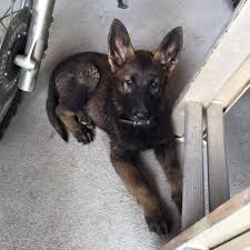 belgian shepherd kennels puppies grothaus k9
