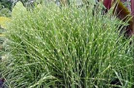 ornamental grasses plant fair