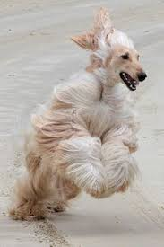 afghan hound speed afghan hounds can develope great speed afghan hounds pinterest