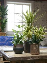 dracaena the joy of plants