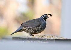 Raising Quail Backyard Backyard Quail They Look Too Cute To Raise For Meat Maybe I Can