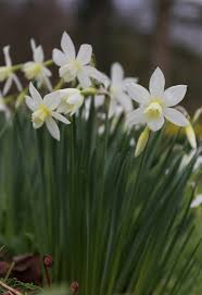 types of daffodils to know and grow