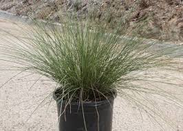ornamental grasses offer low maintenance landscape drama t y nursery