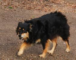 australian shepherd swimming dogs pets people and life page 3