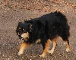 australian shepherd black australian shepherd pets people and life