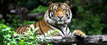 cops shoot tiger to save a house pet the daily caller