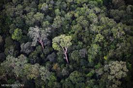 tropics tallest tree found in malaysia