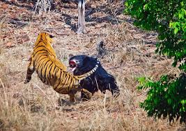 rumble in the jungle fights indian tiger