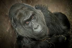 check out colo the oldest gorilla in the world u2013 614now