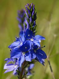 google images flower file veronica prostrata subsp scheereri flowers jpg wikimedia