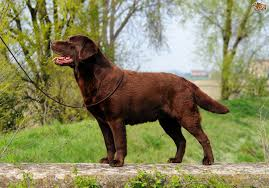 boxer dog crufts 2015 what dog breeds are the most widely shown at crufts pets4homes