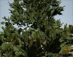 douglas fir sapling triangular speedtree