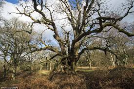 Greatest collection of medieval oak trees in Europe in Winston     Daily Mail