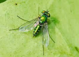 Flies In Backyard Large Green Long Legged Fly Chrysosoma Leucopogon Tank And