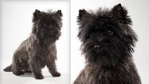 cairn terrier haircuts cairn terrier dog breed selector animal planet