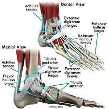 Anatomy Of A Foot Foot Anatomy Sports Podiatry