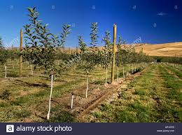 newly planted high density gala apple orchard with a standard pole