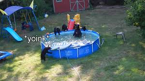 bears invade a new jersey backyard have a pool party and steal a