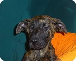 afghan hound adoption florida audrey adopted puppy oviedo fl anatolian shepherd plott
