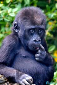 Funny Gorilla Meme - pin by jolana hosova on monkeys and apes pinterest primate