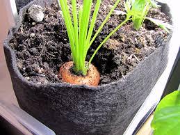 bucolic bushwick indoor vegetable gardening harvest carrots