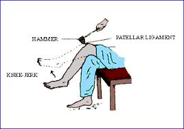 Knee Reflex Arc Pinkmonkey Com Biology Study Guide 23 4 Reflex Action