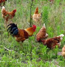 keeping chickens in your garden sa garden and home