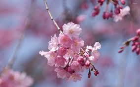 Pink Cherry Blossoms In A Spring Tree Wallpaper Flower