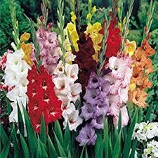 gladiolus flower mixed gladiolus flower bulbs 10 bulbs assorted