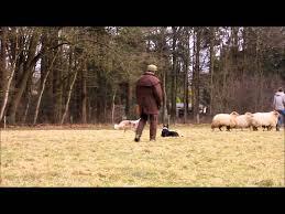 australian shepherd herding australian shepherd first time herding sheep youtube