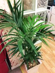 dracaena 1 large indoor office house tree milano gloss pot palm dracaena