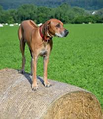 american pitbull terrier rhodesian ridgeback mix rhodesian ridgeback dog breed information pictures