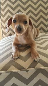 Do All Short Haired Dogs Shed by 9 Best Dogs Images On Pinterest Animals Short Hair And English