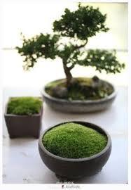 the jade bonsai tree from nursery tree wholesalers is a