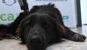 belgian shepherd rescue dogs belgian shepherd dogs for adoption and rescue