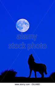wolf howl moon stock photos wolf howl moon stock images alamy