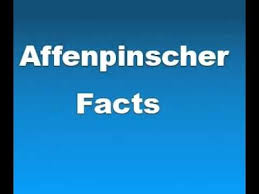 affenpinscher pics affenpinscher facts facts about affenpinschers youtube