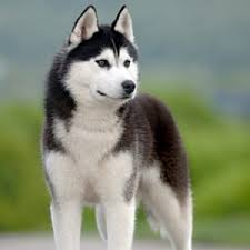 american pitbull terrier vs siberian husky comparison of irish wolfhound dog vs siberian husky dog findvs com