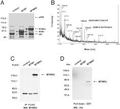 Anti Flag Antibody Regulation Of Myotubularin Related Mtmr 2 Phosphatidylinositol