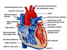 Diagram Heart Anatomy Diagram Of The Heart Internal Structures Internal Heart Diagram