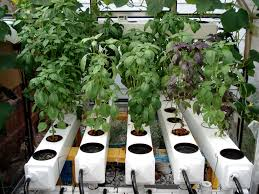nice selection of basil growing in a general hydroponics aeroflo