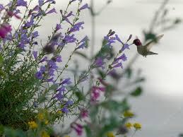 Hummingbird On A Flower - penstemon margarita bop foothill or mountain penstemon