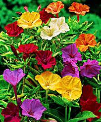 plante vivace soleil achetez maintenant une plante vivace belle de nuit acheter
