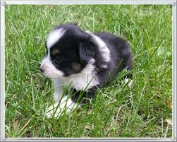 australian shepherd 4 weeks old mini aussie puppies stonger miniature and standard aussies