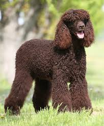 Do Brittany Spaniels Shed by Irish Water Spaniel The Irish Water Spaniel Is A Natural Clown