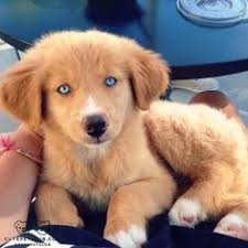 australian shepherd with german shepherd golden retriever german shepherd and australian shepherd mix