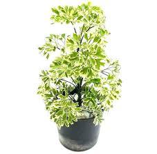 best indoor house plants large indoor house plants can aloe be grown indoors large indoor