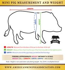 measuring your mini pigs for registration